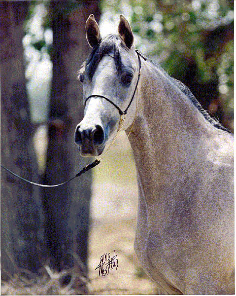 Abraxas Shahmiaa, 1997 filly