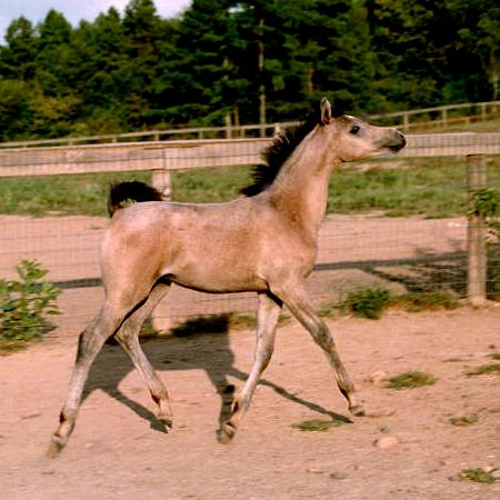 Baraka Fairuz, 2000 filly by Ansata El Shahraf